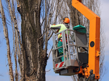 Qualified Tree Trimmer Trimming a Tree in Virginia Beach